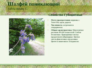 Шалфей поникающий Salvia nutans L. Семейство Губоцветные Место произрастания: