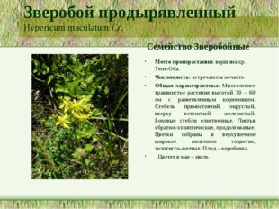 Зверобой продырявленный Hypericum maculatum Cr. Семейство Зверобойные Место п