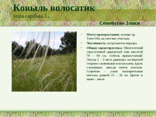 Ковыль волосатик Stipa capillata L. Семейство Злаки Место произрастания: скло