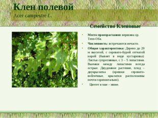 Клен полевой Acer campestre L. Семейство Кленовые Место произрастания: вершин