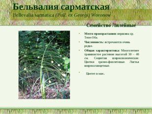 Бельвалия сарматская Bellevalia sarmatica (Pall. ex Georgi) Woronow Семейство