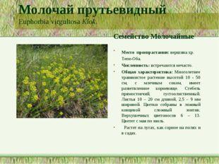 Молочай прутьевидный Euphorbia virgultosa Klok. Семейство Молочайные Место пр