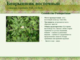 Боярышник восточный Crataegus orientalis Pall. ex Bieb. Семейство Розоцветные