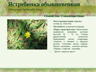 Ястребинка обыкновенная Hieracium lachenalii Gmel. Семейство Сложноцветные Ме