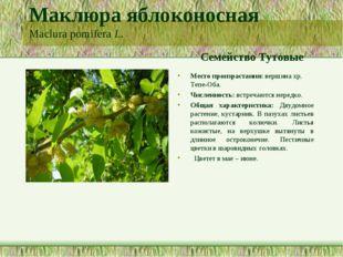 Маклюра яблоконосная Maclura pomifera L. Семейство Тутовые Место произрастани