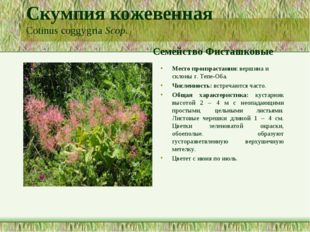 Скумпия кожевенная Cotinus coggygria Scop. Семейство Фисташковые Место произр