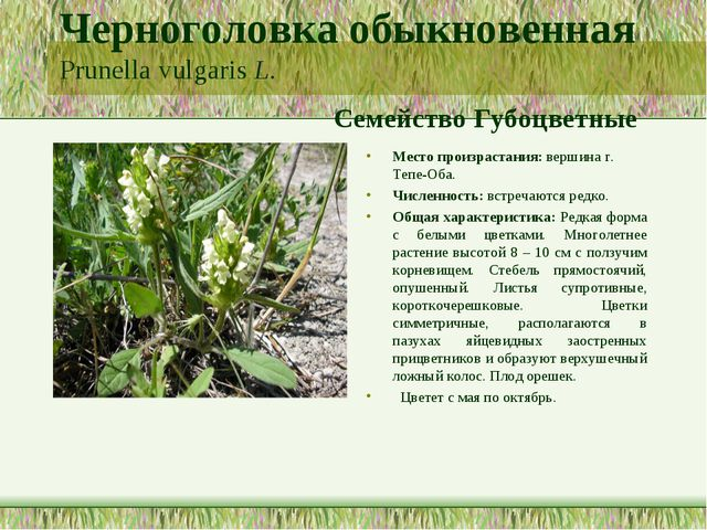 Черноголовка обыкновенная Prunella vulgaris L. Семейство Губоцветные Место пр...