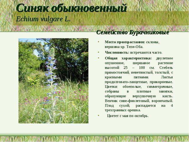 Синяк обыкновенный Echium vulgare L. Семейство Бурачниковые Место произрастан...