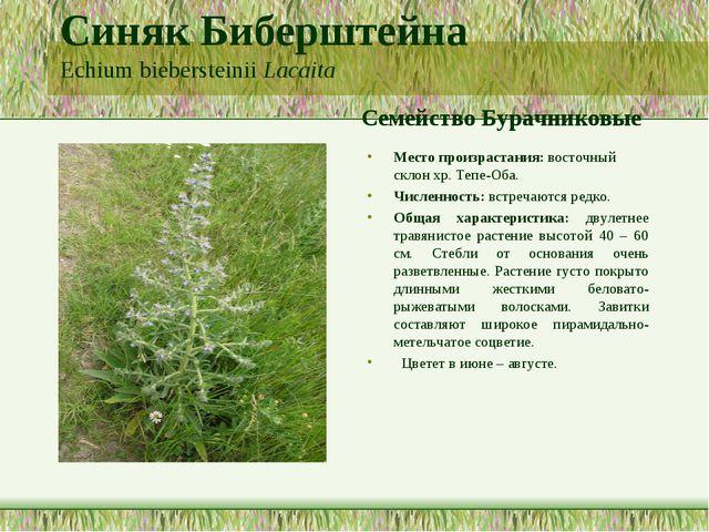 Синяк Биберштейна Echium biebersteinii Lacaita Семейство Бурачниковые Место п...