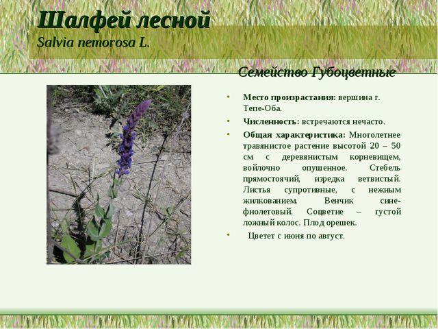 Шалфей лесной Salvia nemorosa L. Семейство Губоцветные Место произрастания: в...