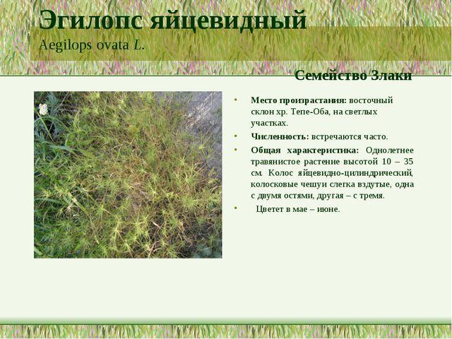 Эгилопс яйцевидный Aegilops ovata L. Семейство Злаки Место произрастания: вос...
