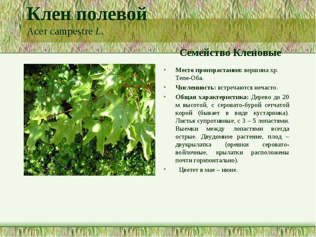 Клен полевой Acer campestre L. Семейство Кленовые Место произрастания: вершин...