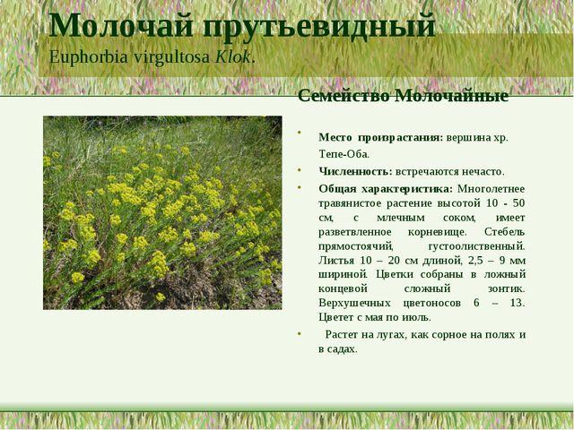 Молочай прутьевидный Euphorbia virgultosa Klok. Семейство Молочайные Место пр...