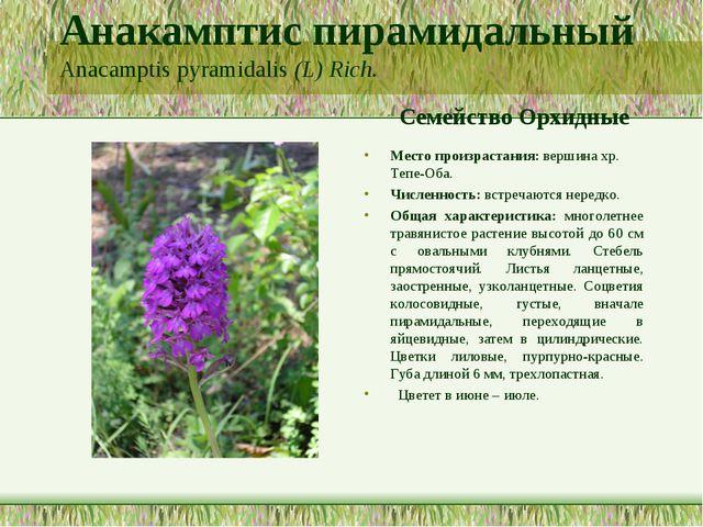 Анакамптис пирамидальный Anacamptis pyramidalis (L) Rich. Семейство Орхидные...