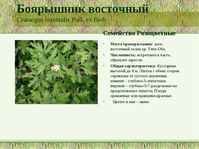 Боярышник восточный Crataegus orientalis Pall. ex Bieb. Семейство Розоцветные...