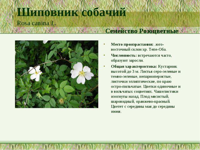 Шиповник собачий Rosa canina L. Семейство Розоцветные Место произрастания: .ю...