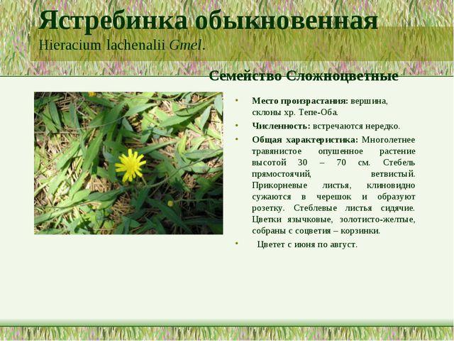 Ястребинка обыкновенная Hieracium lachenalii Gmel. Семейство Сложноцветные Ме...