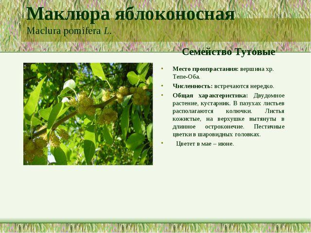 Маклюра яблоконосная Maclura pomifera L. Семейство Тутовые Место произрастани...