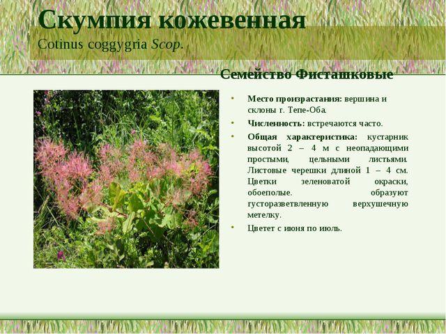 Скумпия кожевенная Cotinus coggygria Scop. Семейство Фисташковые Место произр...