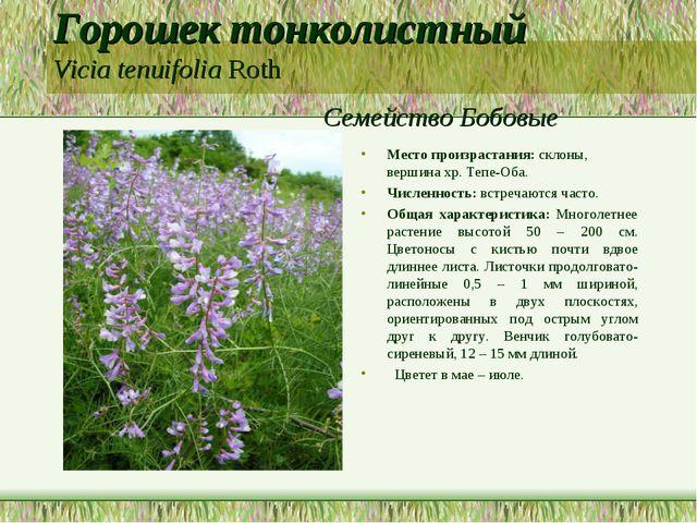 Горошек тонколистный Vicia tenuifolia Roth Семейство Бобовые Место произраста...