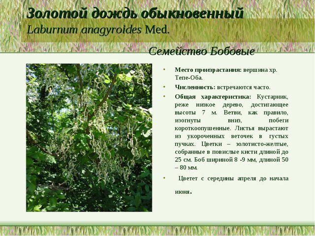 Золотой дождь обыкновенный Laburnum anagyroides Med. Семейство Бобовые Место...