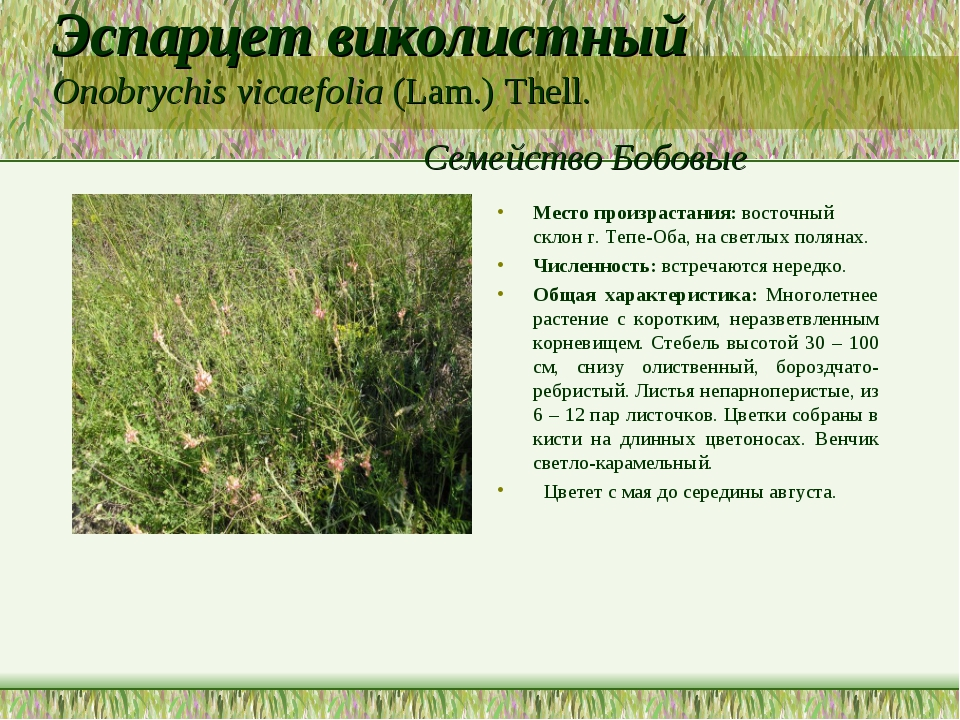 Эспарцет виколистный Onobrychis vicaefolia (Lam.) Thell. Семейство Бобовые Ме...