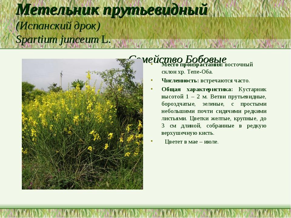 Метельник прутьевидный (Испанский дрок) Spartium junceum L. Семейство Бобовые...