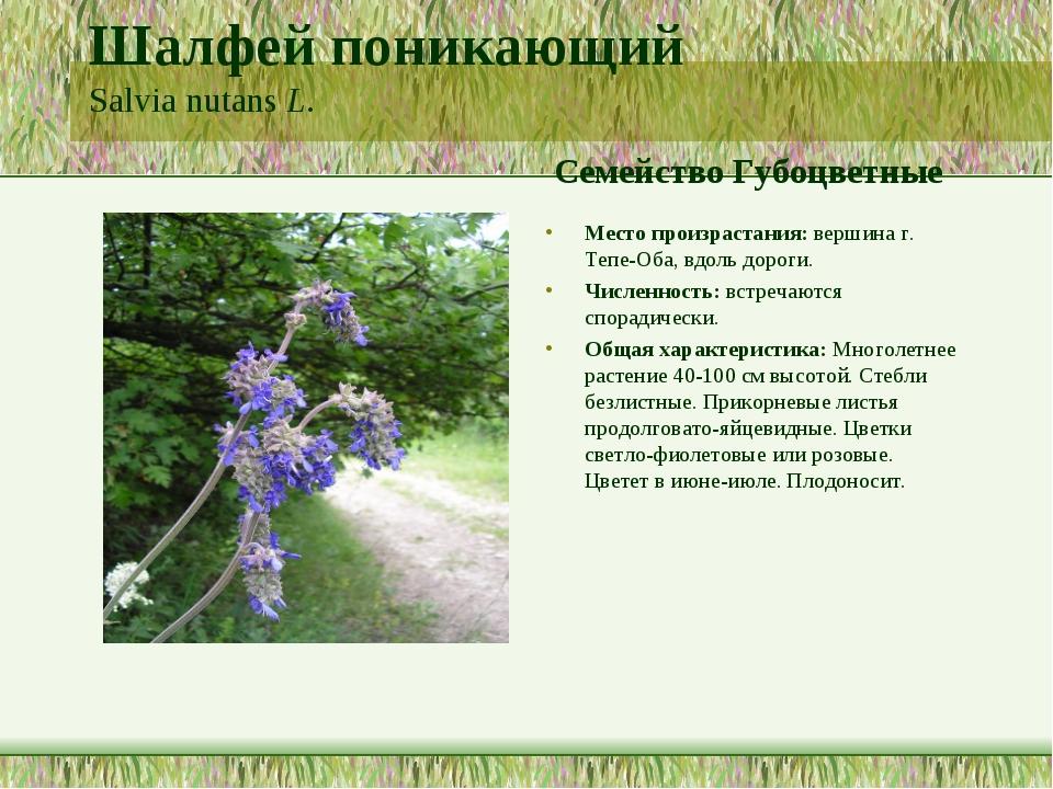 Шалфей поникающий Salvia nutans L. Семейство Губоцветные Место произрастания:...