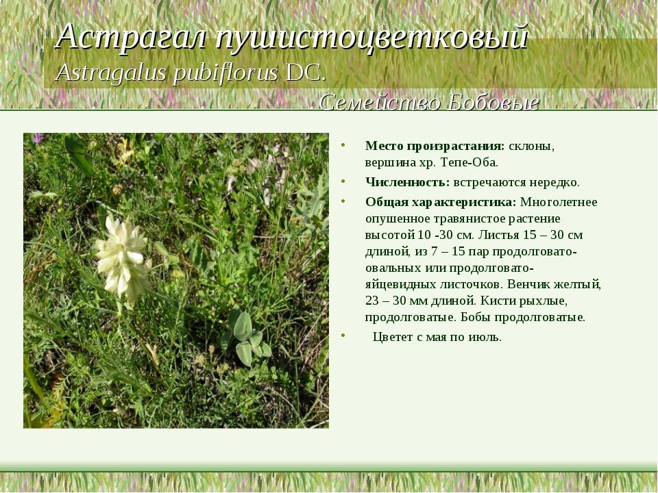 Астрагал пушистоцветковый Astragalus pubiflorus DC. Семейство Бобовые Место п...