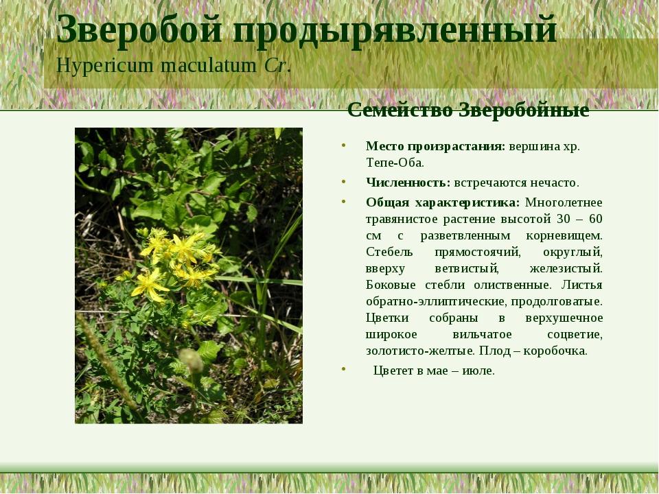 Зверобой продырявленный Hypericum maculatum Cr. Семейство Зверобойные Место п...