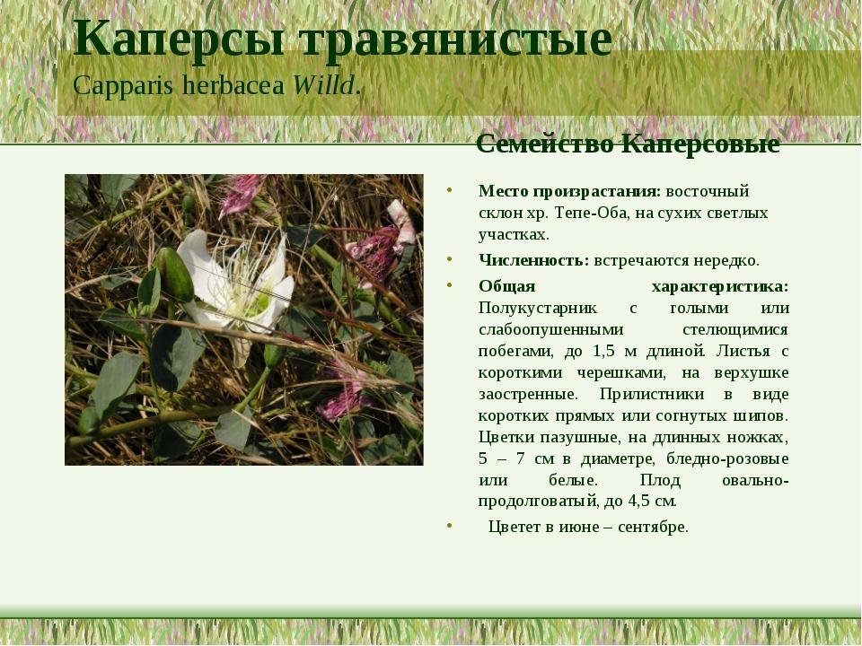 Каперсы травянистые Capparis herbacea Willd. Семейство Каперсовые Место произ...