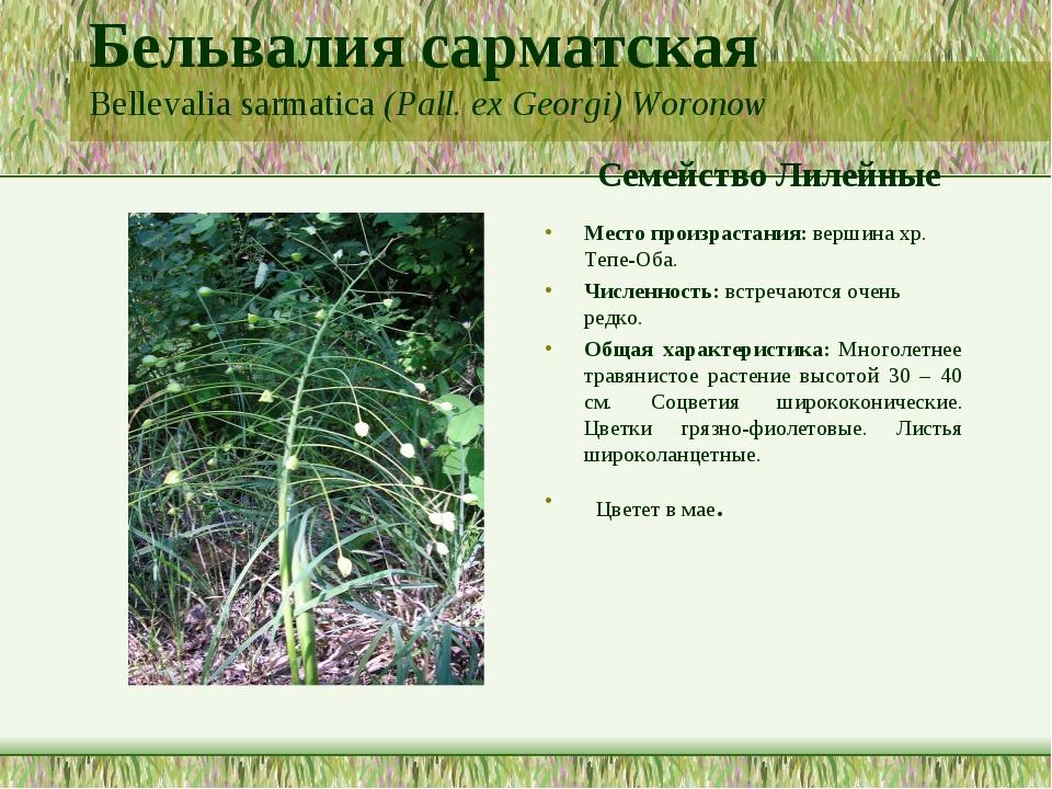 Бельвалия сарматская Bellevalia sarmatica (Pall. ex Georgi) Woronow Семейство...