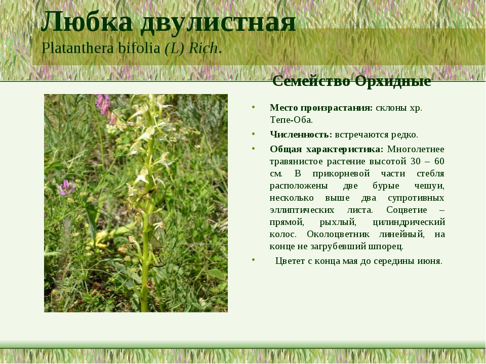 Любка двулистная Platanthera bifolia (L) Rich. Семейство Орхидные Место произ...