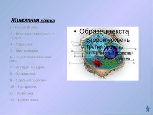 Животная клетка 1 – Пероксисома, 2 – Клеточная мембрана, 3 – Ядро, 4 – Ядрышк