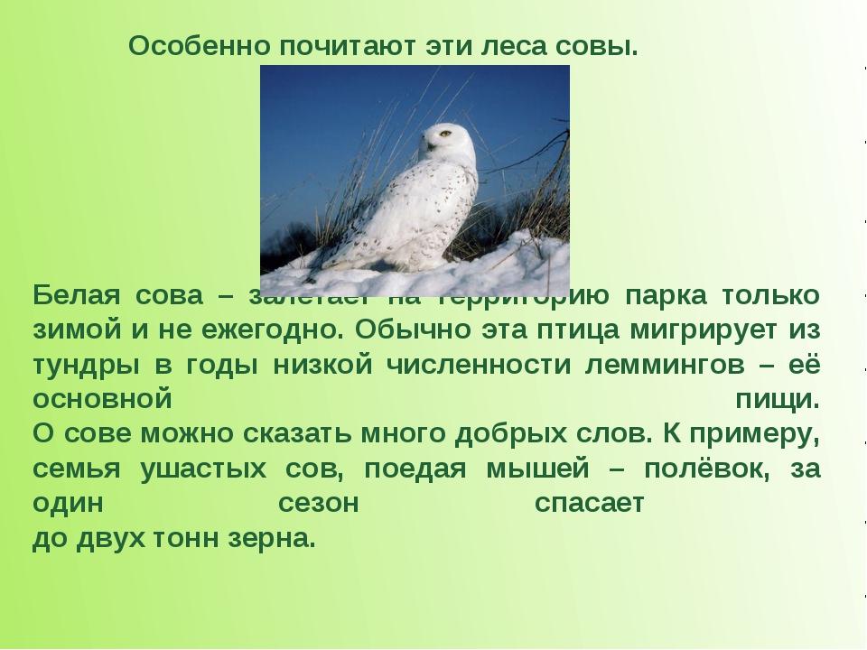 Белая сова – залетает на территорию парка только зимой и не ежегодно. Обычно...