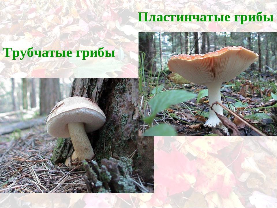 Трубчатые грибы Пластинчатые грибы