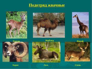 Подотряд жвачные Косуля Верблюд Жираф Баран Олень Лось
