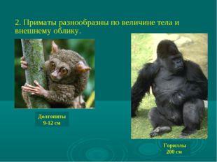 2. Приматы разнообразны по величине тела и внешнему облику. Долгопяты 9-12 см