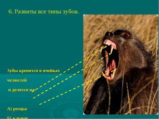 6. Развиты все типы зубов. Зубы крепятся в ячейках челюстей и делятся на: А)