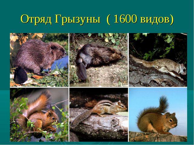 Отряд Грызуны ( 1600 видов)