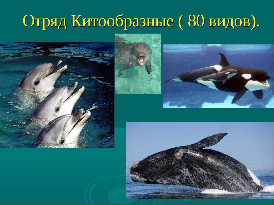 Отряд Китообразные ( 80 видов).