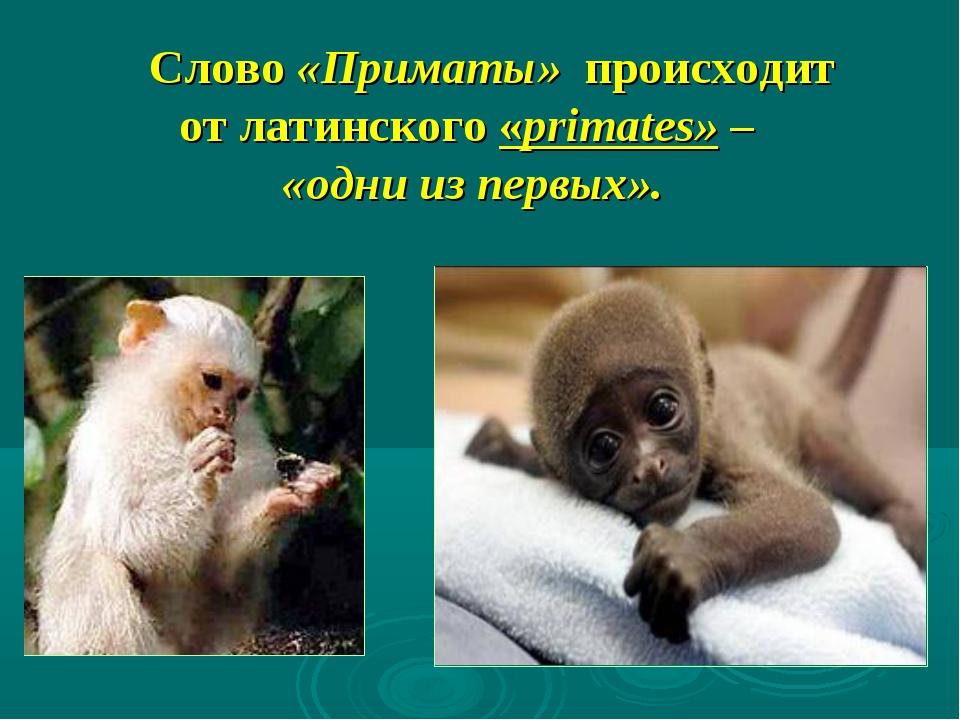 Слово «Приматы» происходит от латинского «primates» – «одни из первых».