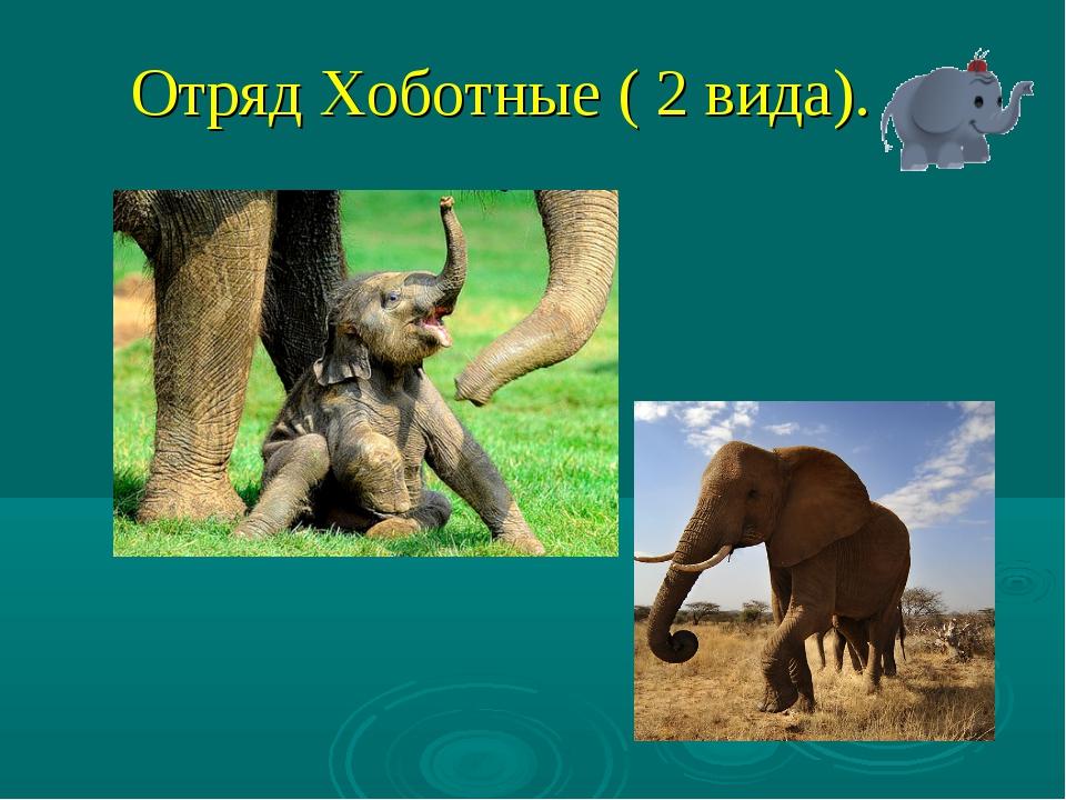 Отряд Хоботные ( 2 вида).