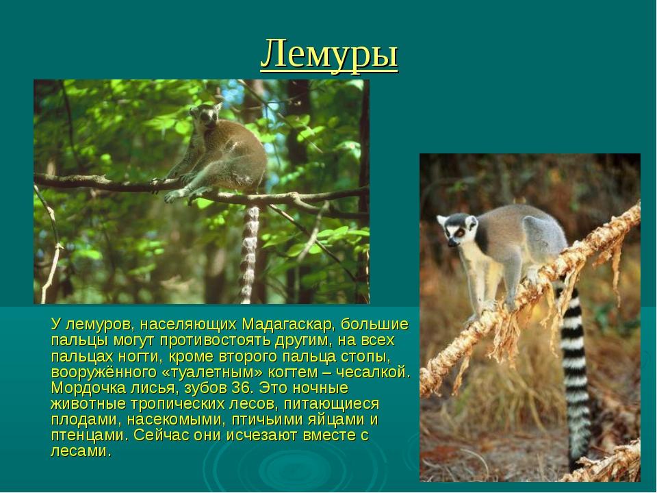 Лемуры У лемуров, населяющих Мадагаскар, большие пальцы могут противостоять д...