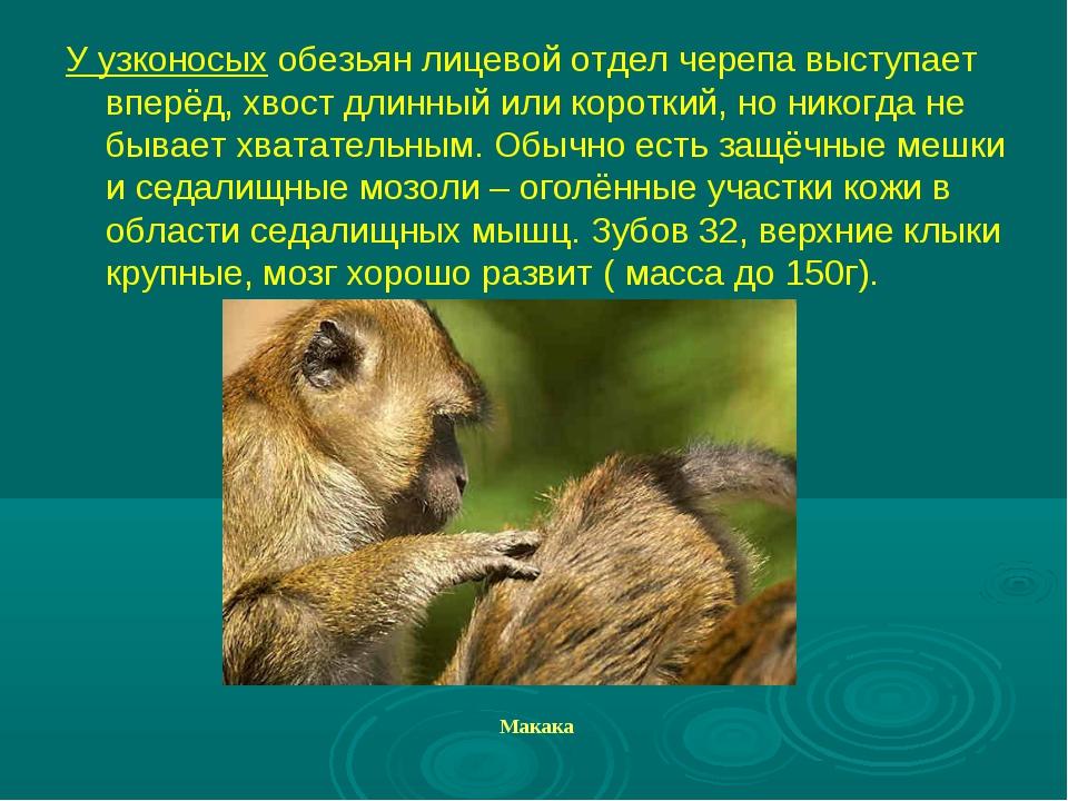 У узконосых обезьян лицевой отдел черепа выступает вперёд, хвост длинный или...