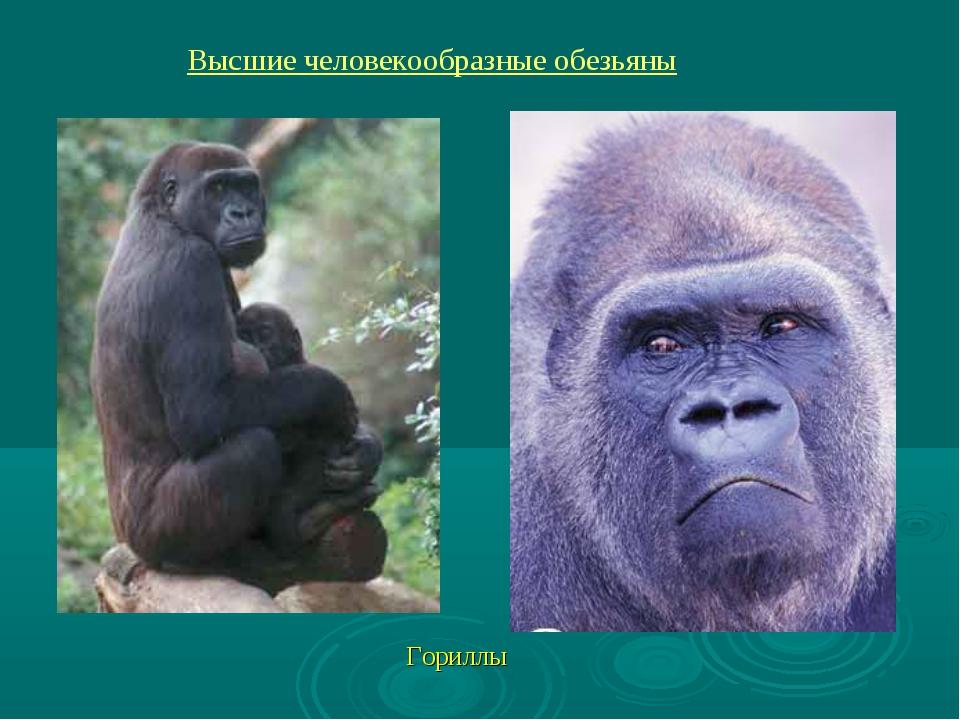 Гориллы Высшие человекообразные обезьяны