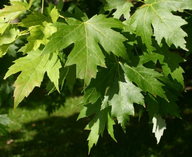 Исцеляющие свойства клёна Человек и Дерево