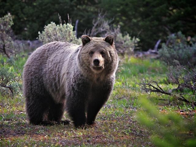 Обои Медведи Бурые ( Гризли ) Животные Фото 283408