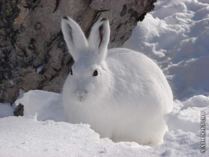 В Москве нашли следы краснокнижного зайца-беляка - Вечерняя Москва