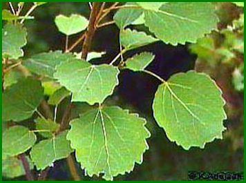 Как выглядит лист осины